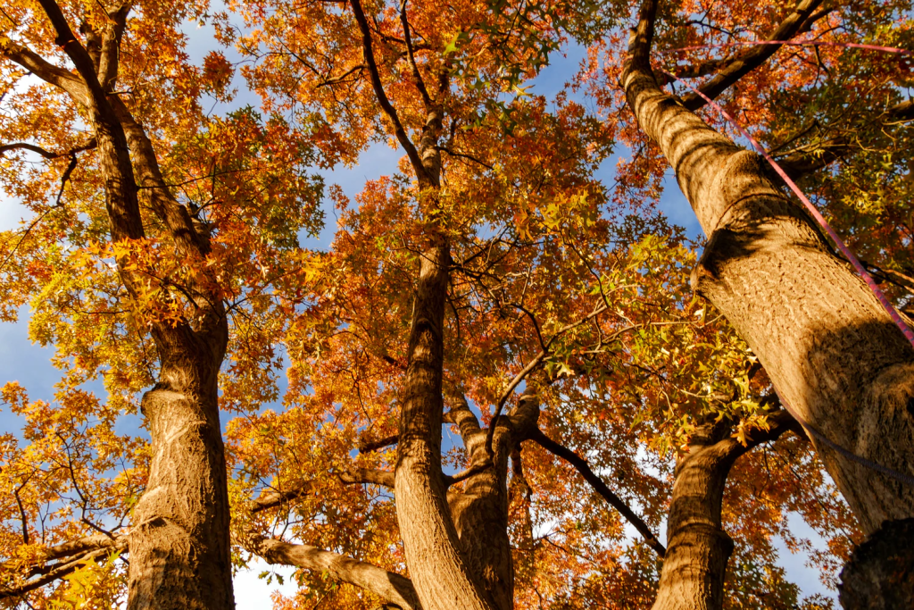 Why Are Oak Trees Protected